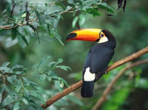 A toucan perched on a branch in Brazil.